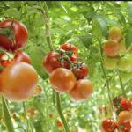 Un nuovo virus colpisce pomodori, peperoni e peperoncino.