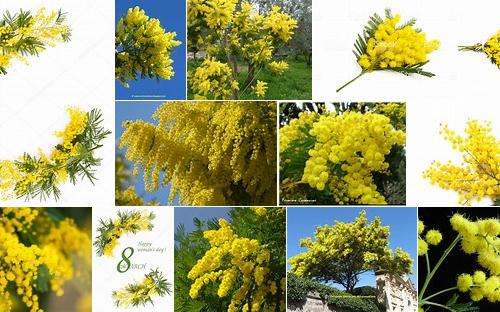 8 marzo. Lo sai per quale motivo la Mimosa è il simbolo di questa festa?